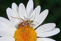 Rotgefleckte Weichwanze, Calocoris roseomaculatus, Weichwanze, Weichwanzen, Miridae, Plant Bugs