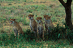Group of Cheetahs seeking shade under a tree in Tanzania, Africa.