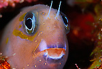 Fang Blenny; Ecsenius midas, Underwater macro marine life images; Photographed in Tulamben; Liberty Resort; Indonesia.Underwater Macro