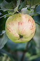 Apple 'Forpear', mid September. A Canadian dessert apple first introduced in 1928.
