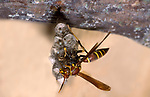 Paper Wasp on nest, Hymenoptera, cells with eggs