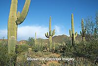 62745-01408 Saguaro Cacti (Carnegiea gigantea) Saguaro NM (West)   AZ