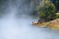 Life in the wild. A cow and calf elk browse along the river on a frosty autumn morning.