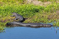 American Alligators (Alligator mississippiensis) bask in the sun in Kissimmee Prairie Preserve State Park in Florida.