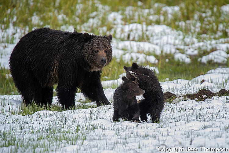 Grizzly Bear mom watches her two cubs fight, Yellowstone National Park