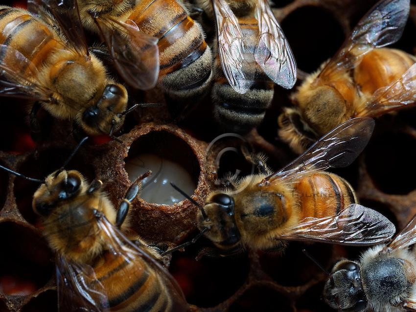 Honeybees nurses around a royal cell