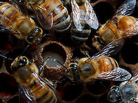 Honeybees nurses around a royal cell