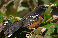 Spotted Towhee (Pipilo maculatus), Pacific Northwest.