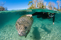 Florida Manatee, Trichechus manatus latirostris, A subspecies of the West Indian Manatee. Snorkelers interact with manatees in their natural habitat near the Three Sisters Springs. Crystal River, Florida. No MR