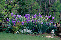 Garden with purple iris, stone wall. #6019. Virginia.