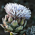 Autumn hoar frost on the flowerhead of a globe artichoke, October.