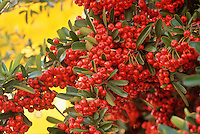December-Pyracantha berries