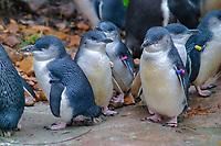 bird, Little Penguin, Eudyptula minor, c, Smallest of all penguins. Range: Eastern and Southern Australia.