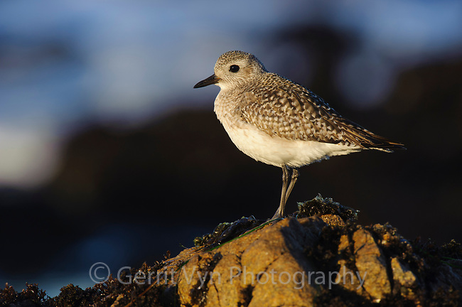 Black-bellied Plover (Pluvialis squatarola) in basic (winter) plumage roosting on coastal rocks. Monterey County, California. December.