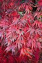 Aututmn foliage of Acer palmatum 'Burgundy Lace', early November.