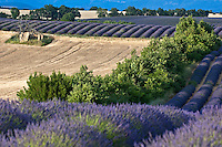 Fields of lavender and harvested wheat in summer, Valensole, Provence, France.