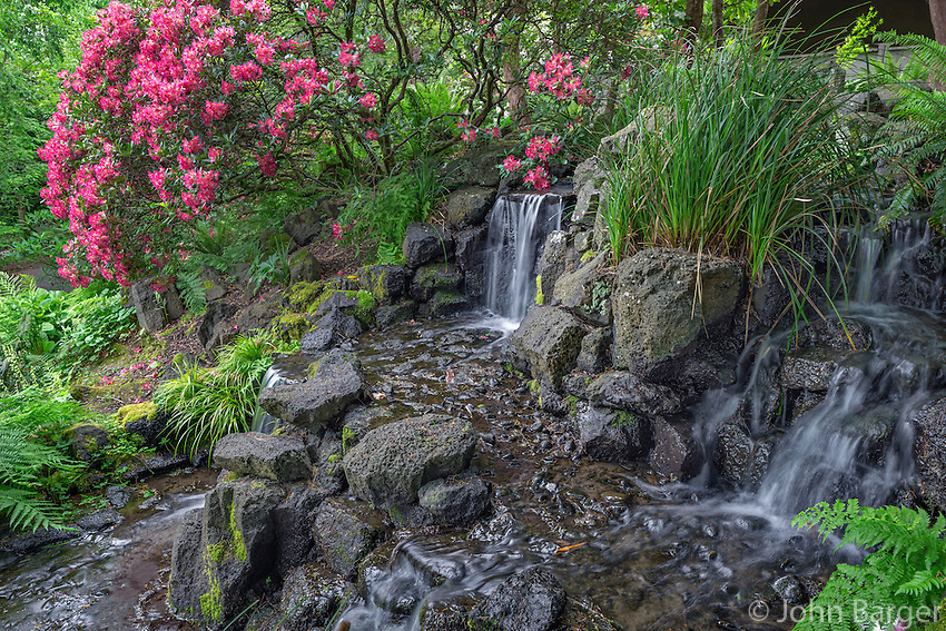 ORPTC_190 - USA, Oregon, Portland, Crystal Springs Rhododendron Garden, Light red blossoms of rhododendrons in bloom alongside waterfall.