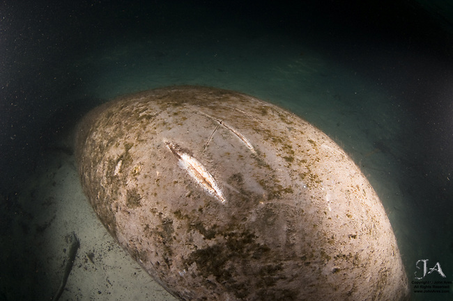 Damage to Manatee back caused by boat