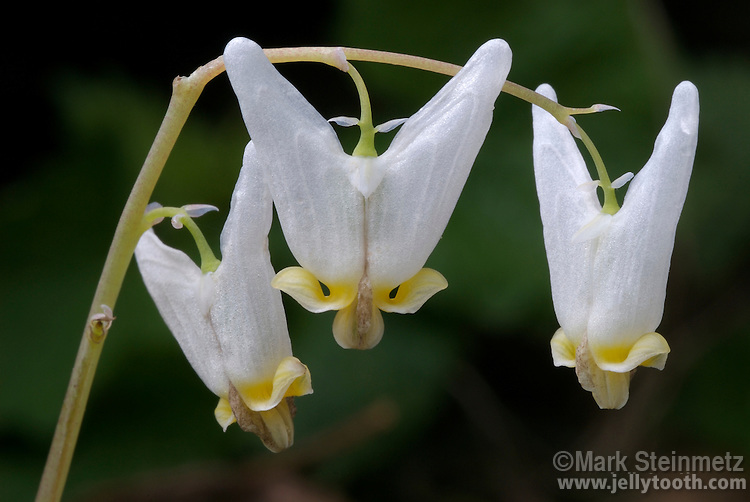 Close-up of Dutchman's Breeches (Dicentra cucullaria), a spring wildlflower primarily of eastern North American forests. Common name comes from resemblance to an arching clothesline of the baggy pants (hanging upside down) of the type once worn by Dutchmen. Franklin County, Ohio, USA.