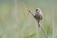 Bearded Tit - Panurus biarmicus - Female