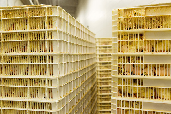 July 24, 2015. Candor, North Carolina.<br />  After 18.5 days in the setter, the eggs are vaccinated for Marek's disease and then placed in the hatchers for another few days until they break out of their shells and enter the world as chicks. They are then cleaned and readied for transport to the farms where they will mature. <br />  Chicken producer Perdue Farms Inc. has become the first major poultry company to attempt to raise more than half of its flock with no antibiotics, human or for animals only. As demand for meats free of medicines has risen, Perdue has upgraded their facilities to increase cleanliness and sterility to allow the company to cut antibiotics out of the chicken hatching process.