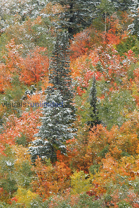 An autumn snowfall decorates the mountainsides and trees of Little Cottonwood Canyon and Alta Basin in the Wasatch Mountains of Utah, USA.