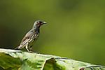 Asian Glossy Starling (Aplonis panayensis) sub-adult, Tawau Hills Park, Sabah, Borneo, Malaysia