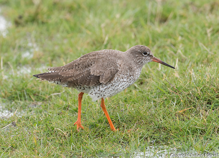 Common Redshank,Tringa totanus, Elmely Nature Reserve, Kent UK, in rain, waterdroplets