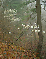 Starved Rock State Park, IL: Fog in an early spring forest with flowering Serviceberry (Amelanchier arborea)