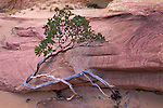 Madrone bush and sandstone at the Wave, Paria Vermilion Cliffs Wilderness, Arizona Utah border
