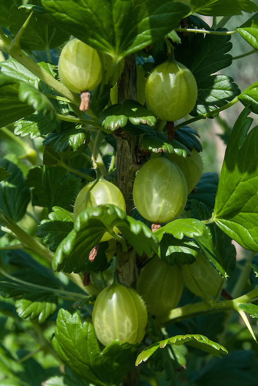 Gooseberry 'Greenfinch', early June.
