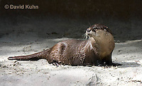 0508-1007  Cape Clawless Otter (African Clawless Otter or Groot Otter), Aonyx capensis capensis  © David Kuhn/Dwight Kuhn Photography.