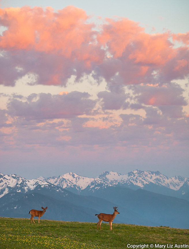 Olympic National Park, WA: A pair of black-tailed deer on Hurricane Hill under sunset clouds.