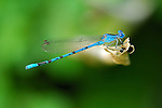 Blue Damselfly, Vivid Dancer male, Argia vivida, Southern California