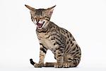 Savannah Cat, Male Kitten, 14 weeks Old