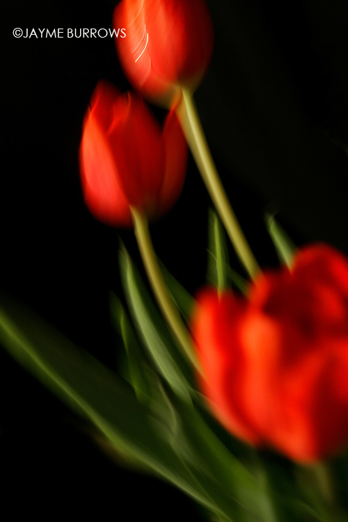 Red tulips in motion.