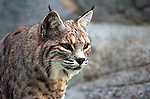 Bobcat stock, Bobcat hunt, Bobcat, Lynx, felidae, predator, whiskered face, black tufted ears, brown coat, Animal, wild animals, domestic animals,  Fine Art Photography, Ronald T. Bennett (c) cat, disambiguation, felis catus, hunt vermin, growling, hissing, puring, chirping, clicking, Felis silvestris lybica, felidae, felinae, felis,