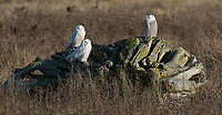 This was the last time I had a fairly close view of Snowy Owls. We keep waiting for them to return to our area.