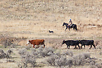 Rancher Heidi Wittig on cattle drive in Moses Coulee.Douglas County, WA