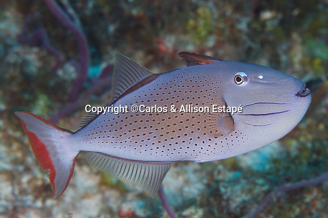 Xanthichthys ringens, Sargassum triggerfish, Cozumel, Mexico