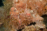 Frogfish (Antennarius commersoni)