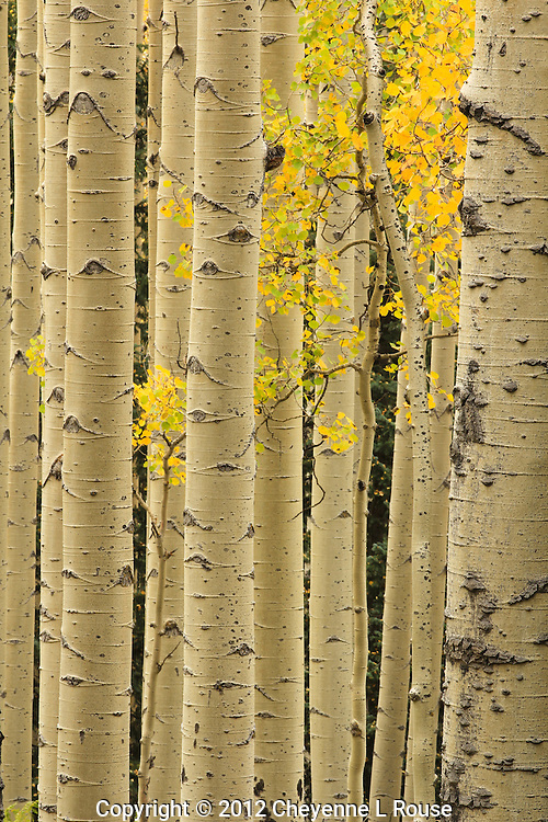 Golden Aspens - Arizona<br /> &copy; 2012 Cheyenne L Rouse/All rights reserved
