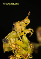 AM01-609z  Ambush Bug adult on goldenrod, Phymata americana