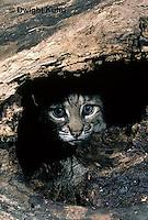 MA26-007z  Bobcat - young - Felis rufus