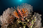 Zebra dwarf lionfish (Dendrochirus zebra).