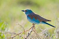 European Roller, Coracias garrulus, Serengeti National Park, Tanzania, East Africa