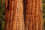 Giant Sequoia (Sequoiadendron giganteum) tree trunks, Sierra Nevada, Sequoia National Park, California