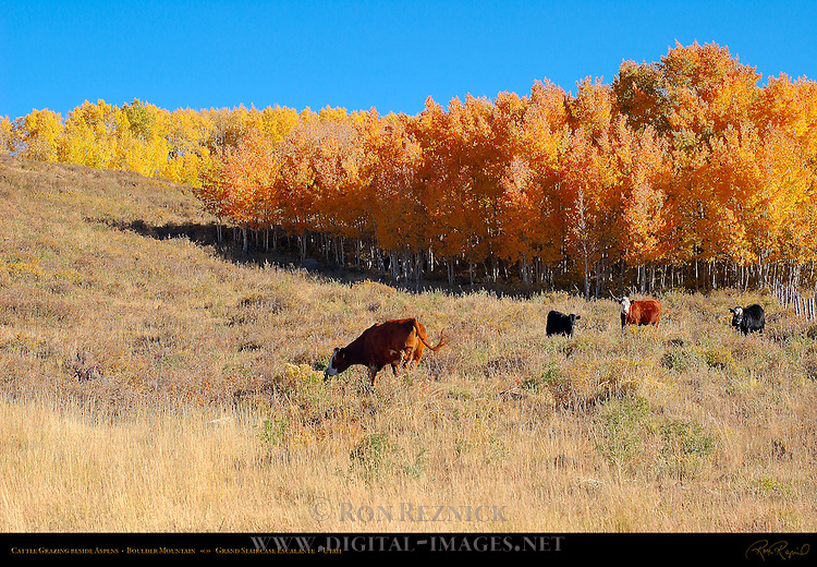 Cattle Grazing beside Aspens, Boulder Mountain, Grand Staircase Escalante, Utah
