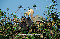 00684-04007 Great Blue Heron (Ardea herodias) feeding nestlings Sarasota Co.   FL