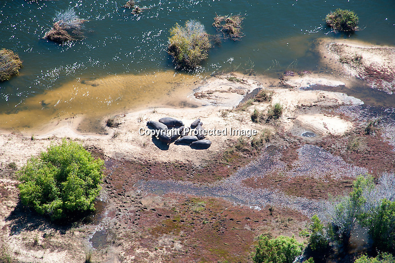 Aerial View of Hippos Sunning in the Zambezi River at Victoria Falls in Zimbabwe